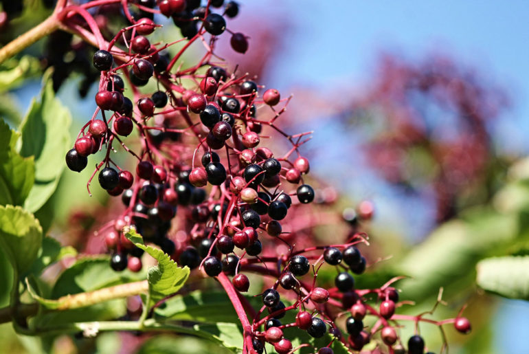 Elderberry in natural cosmetics: a berry powerful skincare hero